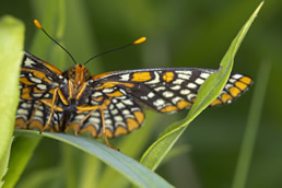 Checkerspot Baltimore