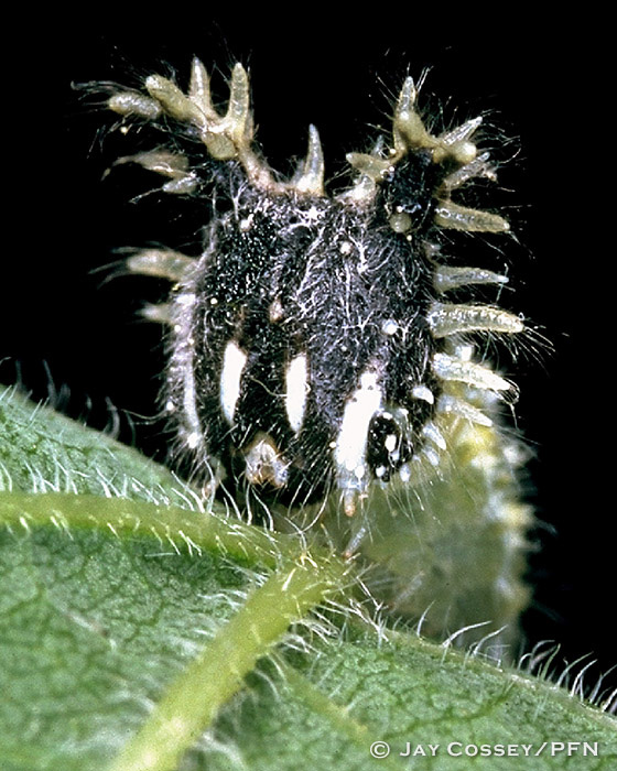 Tawny Emperor Butterfly Caterpillar