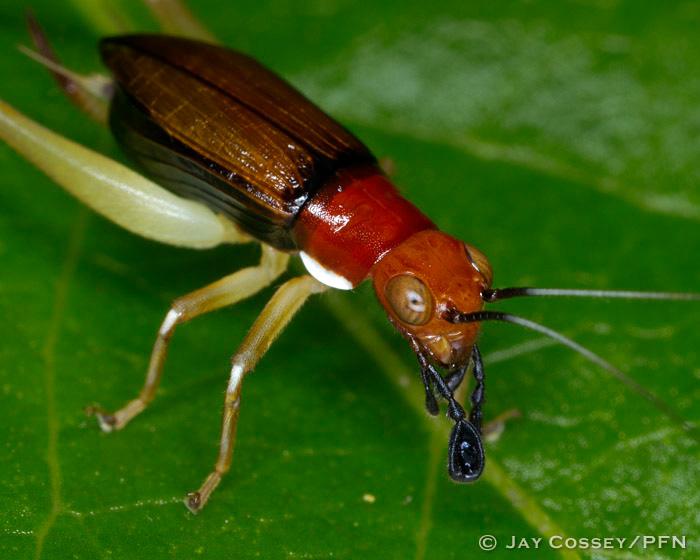 Crickets Katydids