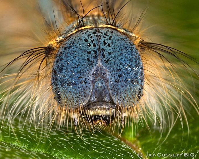 Eastern Forest Tent Caterpillar