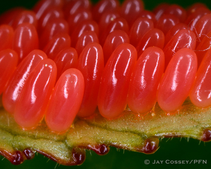 Leaf Beetle Eggs