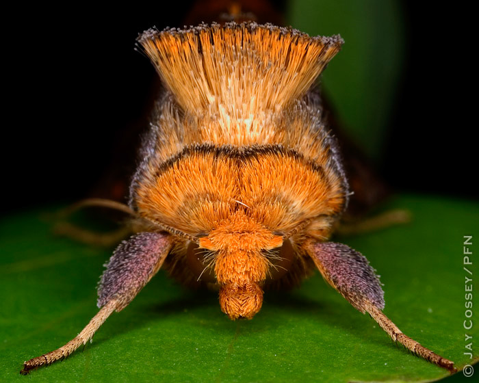 Unspotted Looper Moth