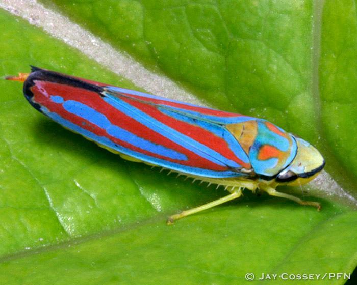 Hoppers Aphids Cicadas