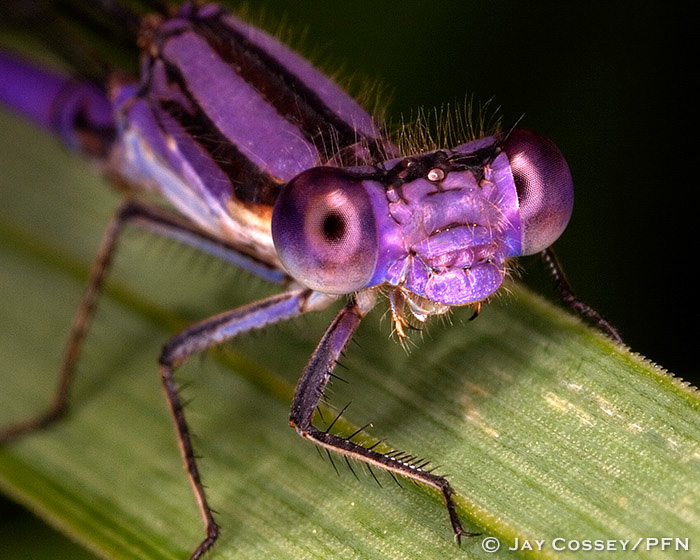 Violet Dancer Damselfly