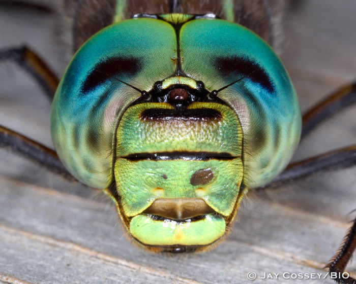 Lake Darner Dragonfly