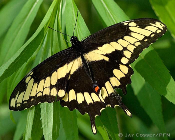 Butterflies Skippers