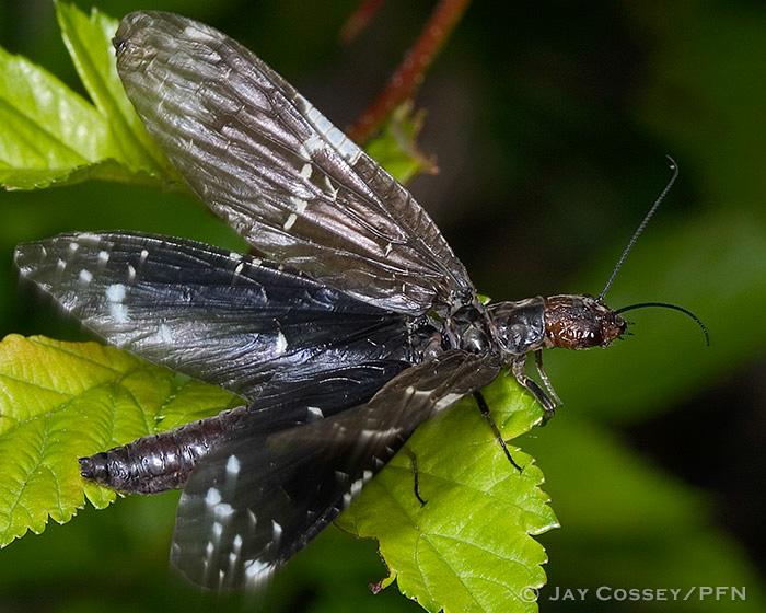 Fishflies Dobson & Alderflies