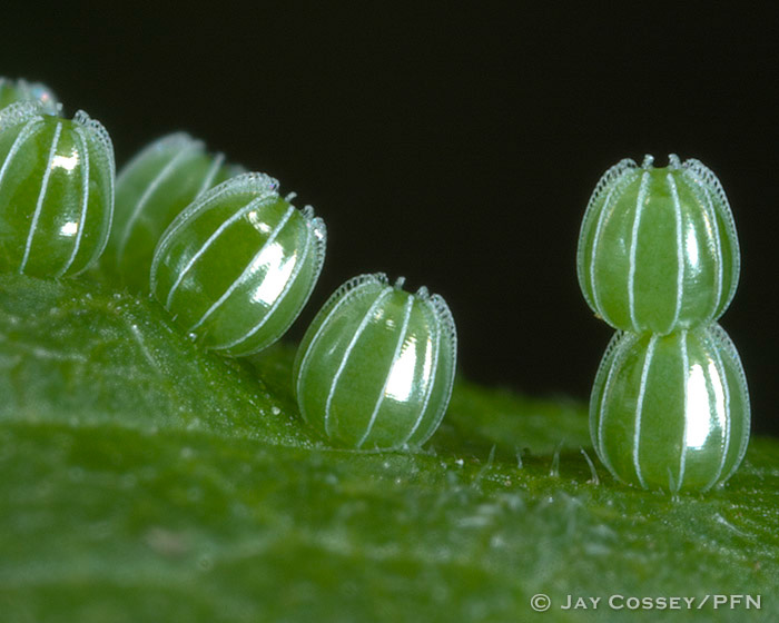 Question Mark Butterfly Eggs